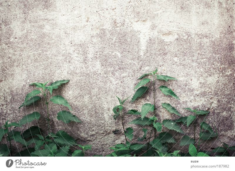 Brennpunkt Umwelt Natur Pflanze Grünpflanze Nutzpflanze Wildpflanze Mauer Wand alt authentisch natürlich trist trocken wild grün Verfall Vergänglichkeit