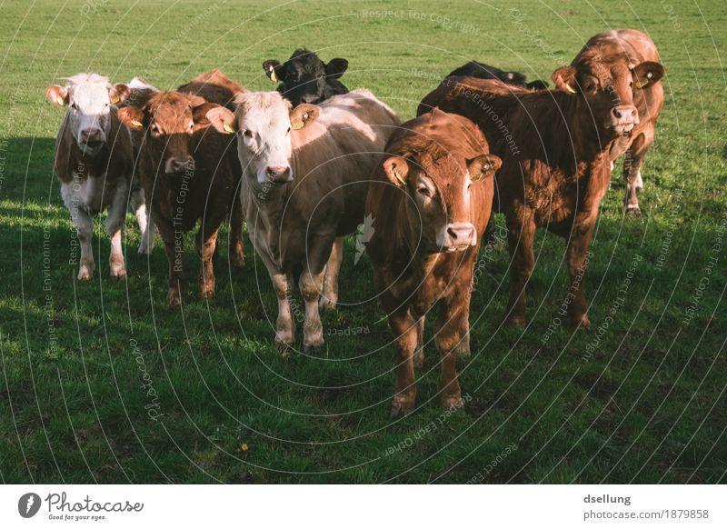 gemeinsam sind wir kuhl. grün rot Tier Wiese Gesundheit braun Zusammensein Freundschaft Feld stehen einzigartig Tiergruppe beobachten Freundlichkeit Sicherheit Schutz