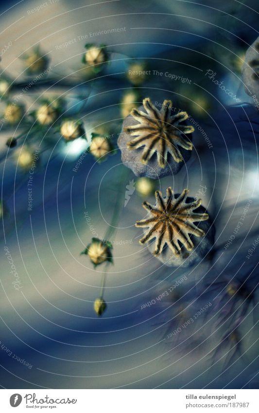 ** Natur schön Blume blau Pflanze Farbe Herbst Umwelt Dekoration & Verzierung Vergänglichkeit natürlich Mohn Blumenstrauß trocken exotisch