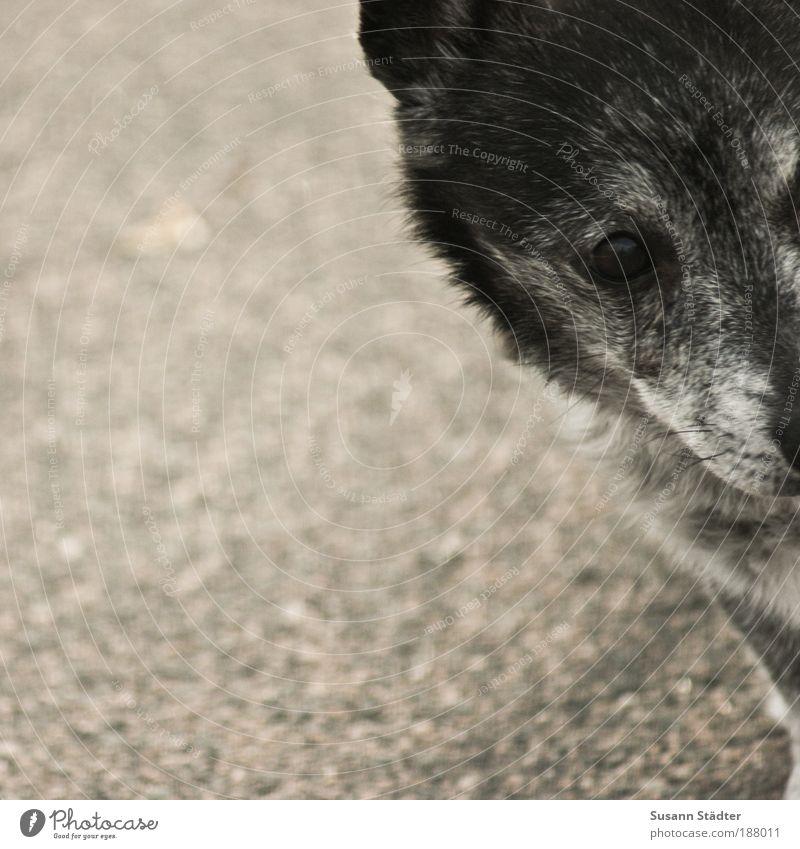 Lunschen ins Jahr 2010 Hund alt Tier grau warten Hoffnung Ecke Neugier Fell Tiergesicht Müdigkeit Interesse Haustier Schnauze Spielzeug