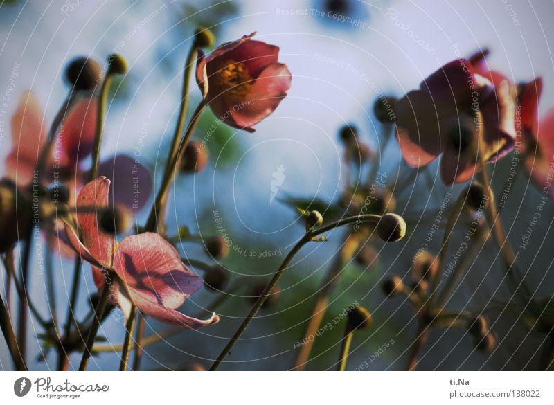 Moin 2010 Umwelt Natur Landschaft Schönes Wetter Pflanze Blume Sträucher Blatt Blüte Herbstanemone Garten Wiese Blühend elegant schön Farbfoto mehrfarbig