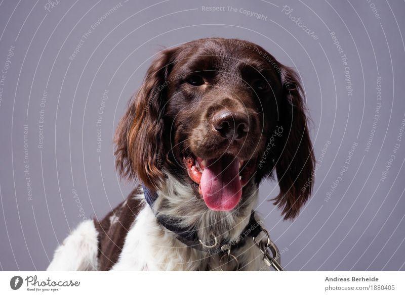 Kleiner Monsterländer im Studio Haustier Nutztier Hund Tiergesicht 1 Neugier braun Tierliebe Wachsamkeit geduldig Durst munsterlander small dog portrait pointer