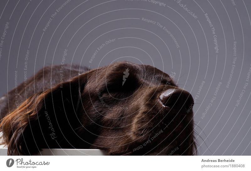 Erschöpft Haustier Nutztier Hund 1 Tier kaputt niedlich munsterlander small dog portrait pointer grey Werkstatt animal Hintergrundbild hunting dark brown pet