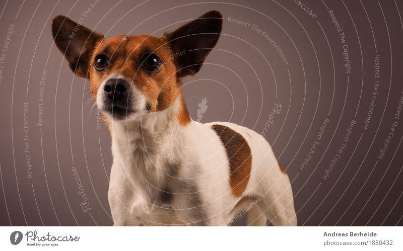 Ein treuer Freund Tier Haustier Hund verrückt Wachsamkeit jack Russell Terrier dog animal purebred puppy brown pet russel front view domestic canine tongue