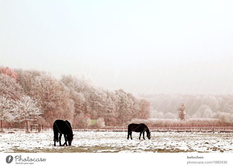 einmal gras tiefgefroren bitte Natur Pflanze Tier Himmel Wolken Herbst Winter Schönes Wetter Nebel Eis Frost Schnee Baum Gras Sträucher Wiese Feld Wald Pferd 2