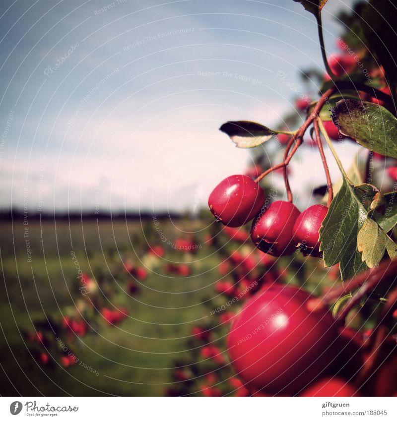 rosige aussichten Umwelt Natur Landschaft Pflanze Himmel Herbst Schönes Wetter Sträucher Blatt Wiese Wachstum Beeren Beerensträucher Ernte Landwirtschaft reif