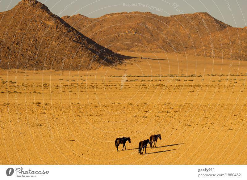 Wildpferde in Aus (Namibia) Ferien & Urlaub & Reisen Ausflug Abenteuer Ferne Safari Umwelt Natur Landschaft Erde Sand Sonne Sonnenlicht Sommer Wärme Dürre Hügel