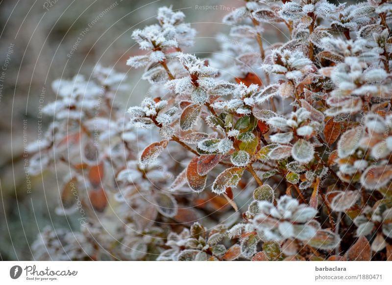 Frosties Pflanze Winter Eis Schnee Sträucher Garten kalt weiß Stimmung Klima Natur Umwelt Farbfoto Gedeckte Farben Außenaufnahme Muster Strukturen & Formen