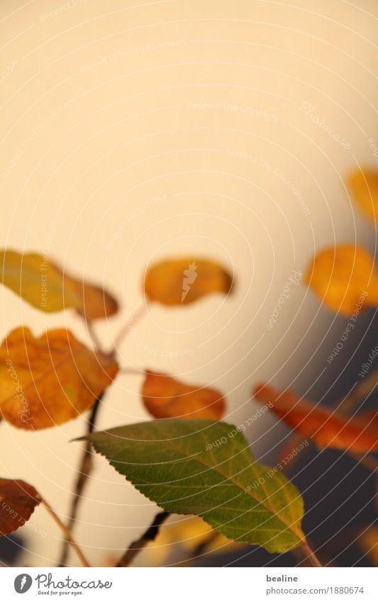 Abendlichtblätter Natur Pflanze Sonnenlicht Herbst Baum Blatt Grünpflanze Nutzpflanze leuchten Traurigkeit verblüht schön trist Wärme braun mehrfarbig gelb grün