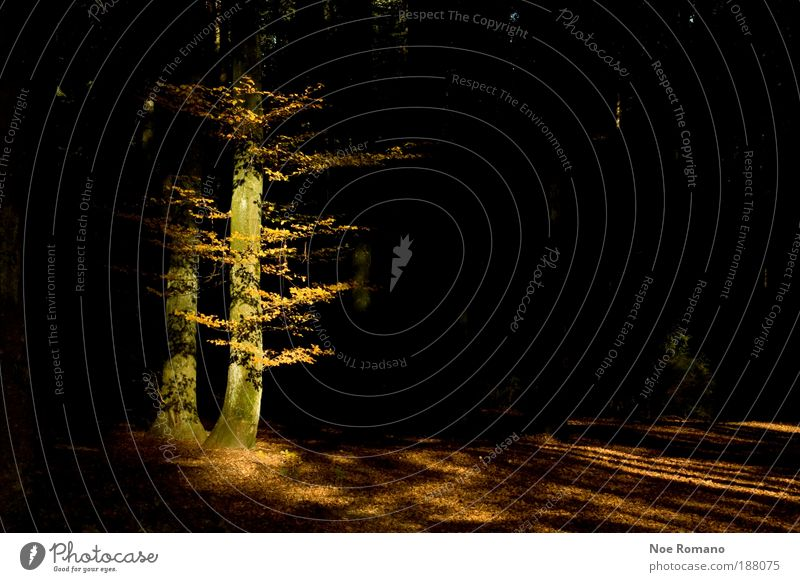 Shining Natur schön Baum Pflanze schwarz gelb Wald Herbst Gefühle Landschaft Stimmung Kraft Umwelt Energie Erde ästhetisch