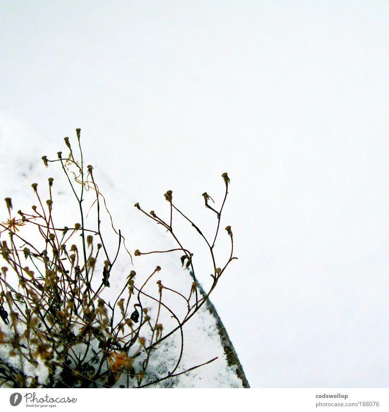 en plein hiver Natur Pflanze Winter kalt Schnee Tod Umwelt trist Terrasse Licht Erschöpfung Topfpflanze