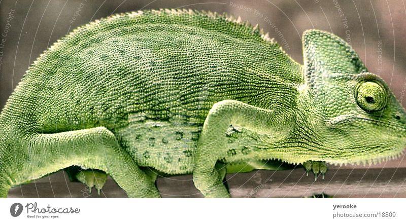 Chamäleon grün Tier Afrika Echsen