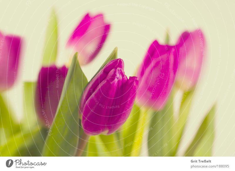 Tulpen Natur schön Blume grün Pflanze Freude ruhig Blatt Farbe Leben Wiese Blüte Frühling Park Stimmung rosa