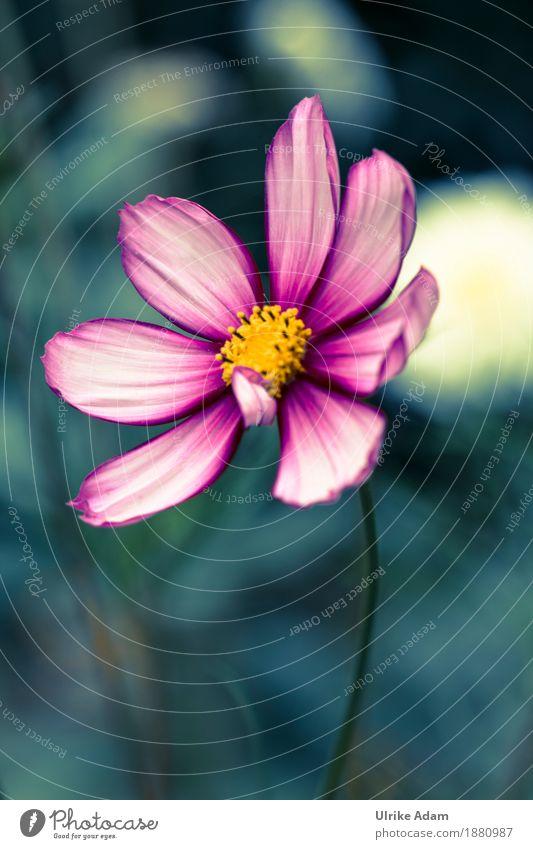 Schmuckkörbchen (Cosmos) Natur Pflanze Sommer Blume Erholung ruhig Wärme Blüte Innenarchitektur Herbst Kunst Garten Design rosa wild Park