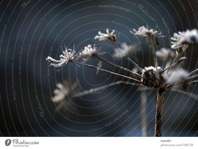 Winterzauber Natur Eis Frost Pflanze Gras Sträucher Wiese kalt vertrocknet Außenaufnahme Nahaufnahme Unschärfe Schwache Tiefenschärfe