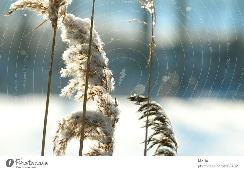 Winteranfang Umwelt Natur Landschaft Pflanze Klima Klimawandel Wetter Eis Frost Schnee Schneefall Gras Park Seeufer Teich verblüht Wachstum kalt natürlich ruhig