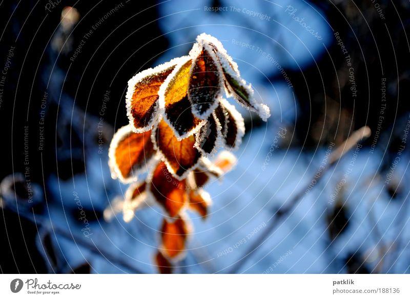 Lichtspiel schön Pflanze rot Winter Blatt kalt Schnee Eis Beleuchtung glänzend elegant Wachstum Frost Sehnsucht leuchten Freundlichkeit