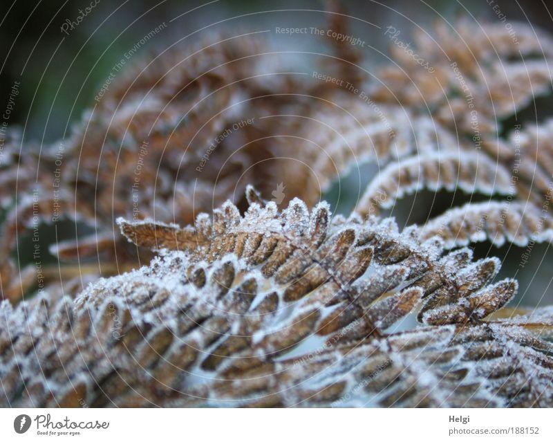 Rauhreif Umwelt Natur Pflanze Winter Eis Frost Blatt Grünpflanze frieren dehydrieren Wachstum alt ästhetisch kalt natürlich schön braun weiß bizarr