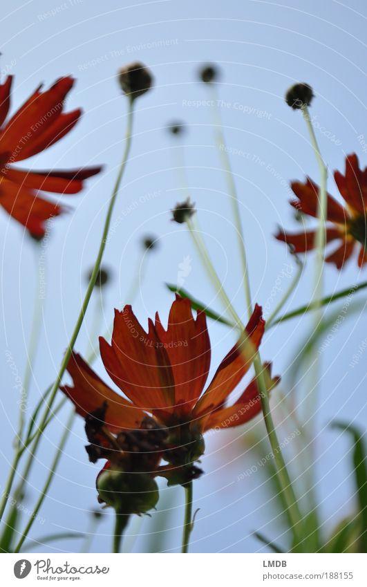 Flammende Blüten Natur Himmel Blume grün blau Pflanze rot Blatt Blüte Feuer Perspektive Blütenpflanze Stengel Blütenknospen Blütenblatt himmelblau