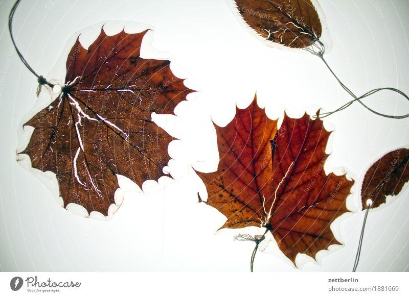 Vier laminierte Blätter Blatt Dekoration & Verzierung Freisteller Herbst Herbstlaub Licht Schmuck Ahorn Ahornblatt braun Blattgrün alt trocken getrocknet