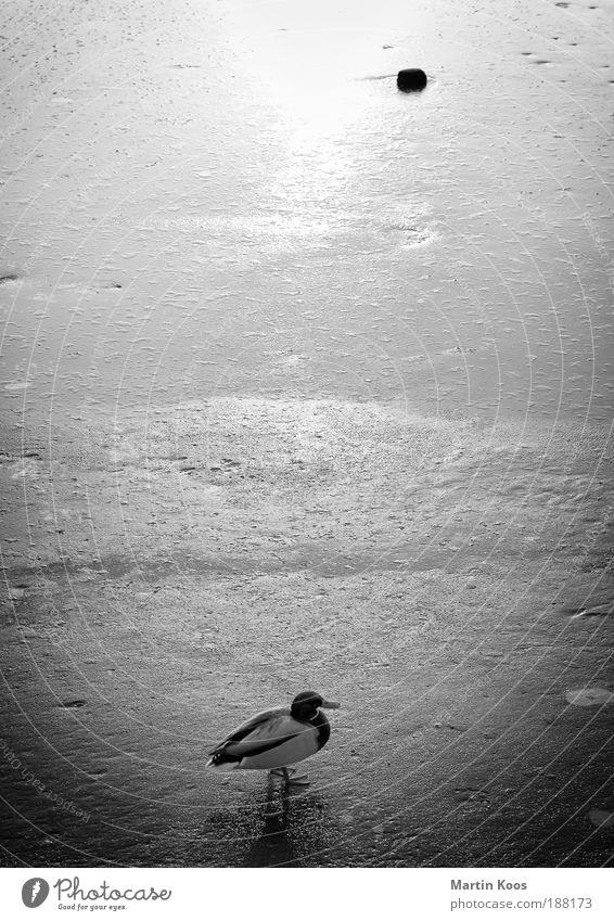 Ente auf Eis Wasser Winter ruhig Einsamkeit kalt Schnee Stein Linie Kraft warten Zeit Perspektive ästhetisch Frost Tier