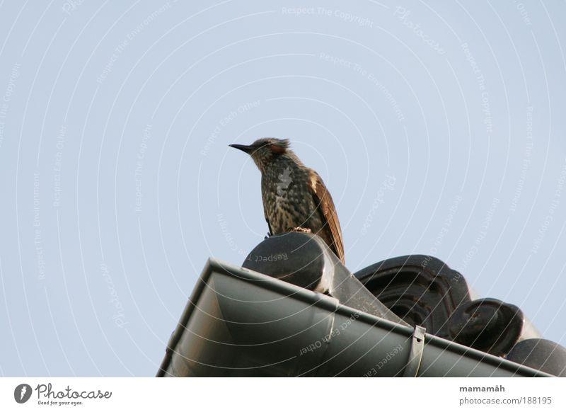 Ausguck Himmel Tier Denken Vogel warten fliegen sitzen Aussicht Dach Feder beobachten Schnabel