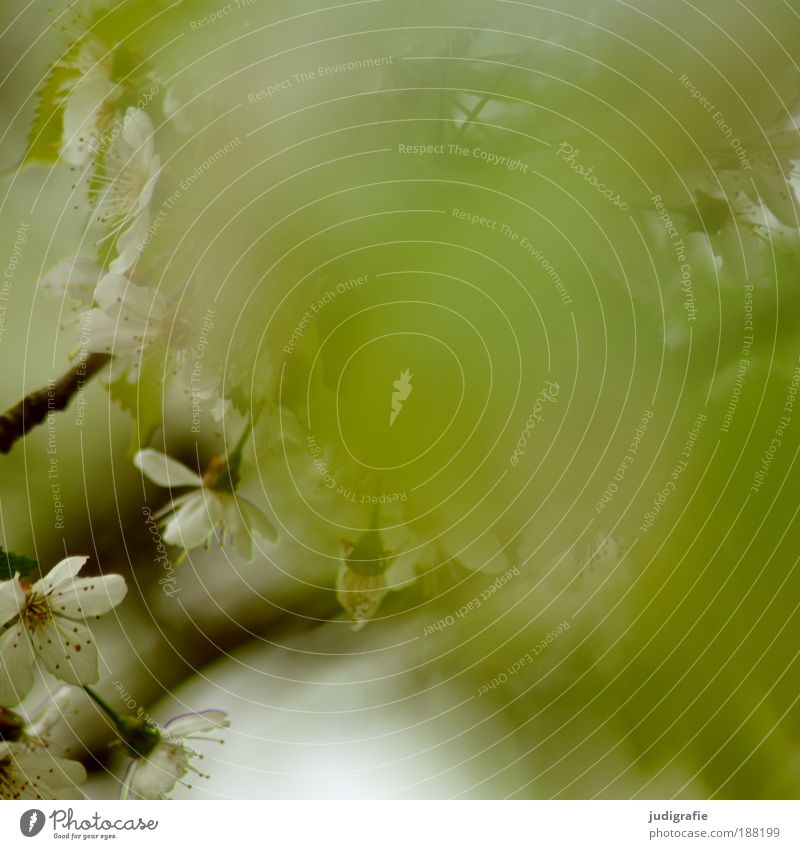 Wenn es doch nur ... Natur grün Baum Pflanze Blatt Umwelt Blüte Wärme Frühling träumen Park natürlich ästhetisch Wachstum Blühend Duft