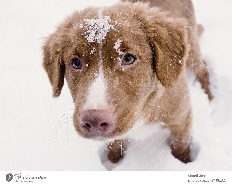 der kleine prinz Natur Schnee Hund 1 Tier berühren genießen Blick einfach frei Freundlichkeit Glück nah braun rosa weiß Zufriedenheit loyal Tierliebe