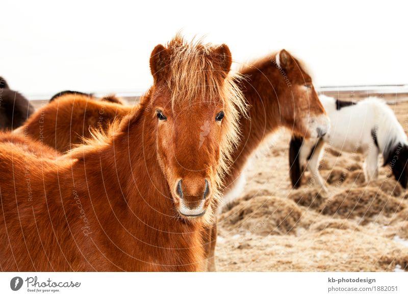 Portrait of an Icelandic pony Ferien & Urlaub & Reisen Winter Tourismus Island