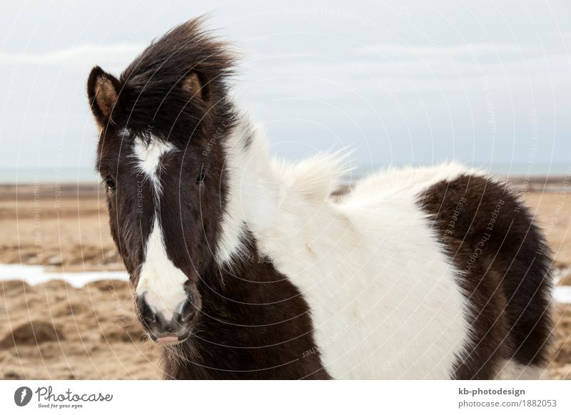 Portrait of a black and white Icelandic horse Ferien & Urlaub & Reisen Tourismus Abenteuer Ferne Pferd 2 Tier Iceland pony Iceland ponies Icelander dog Island