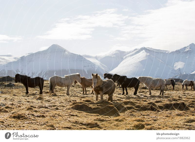 Herd of Icelandic horses on a meadow in winter Ferien & Urlaub & Reisen Landschaft Ferne Winter Berge u. Gebirge Tourismus Abenteuer Pferd Island Herde