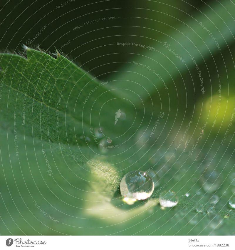 in the spotlight Umwelt Natur Pflanze Wassertropfen Sonnenlicht Frühling Sommer Wetter Schönes Wetter Regen Blatt Garten glänzend schön grün Stimmung achtsam