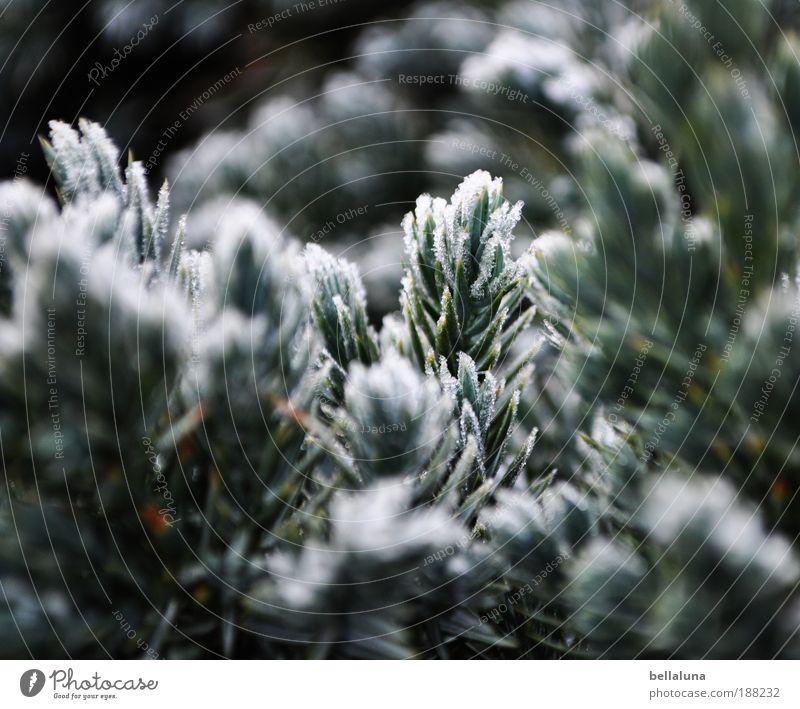 50 frostige Nadelstiche :-) Natur Baum Pflanze Winter Umwelt kalt Schnee Eis Frost Schönes Wetter Nadelbaum