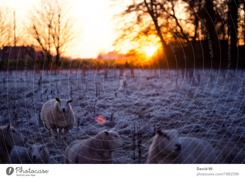 Schäfchen Natur schön weiß Tier Winter Umwelt kalt Wiese Lifestyle Horizont leuchten Feld frisch gold Tiergruppe Klima
