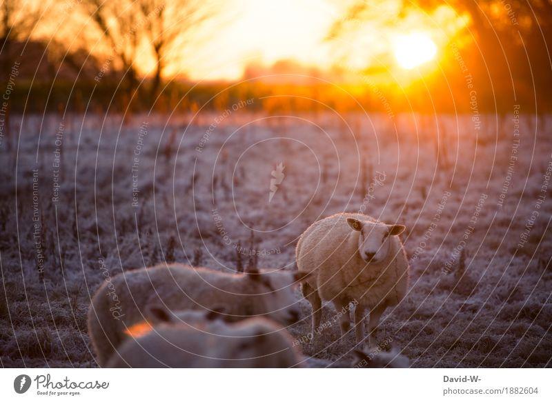 Der Winter kommt Umwelt Sonnenaufgang Sonnenuntergang Sonnenlicht Schönes Wetter Eis Frost Schnee Wiese Feld Tier Nutztier Fell Herde beobachten dick Wolle