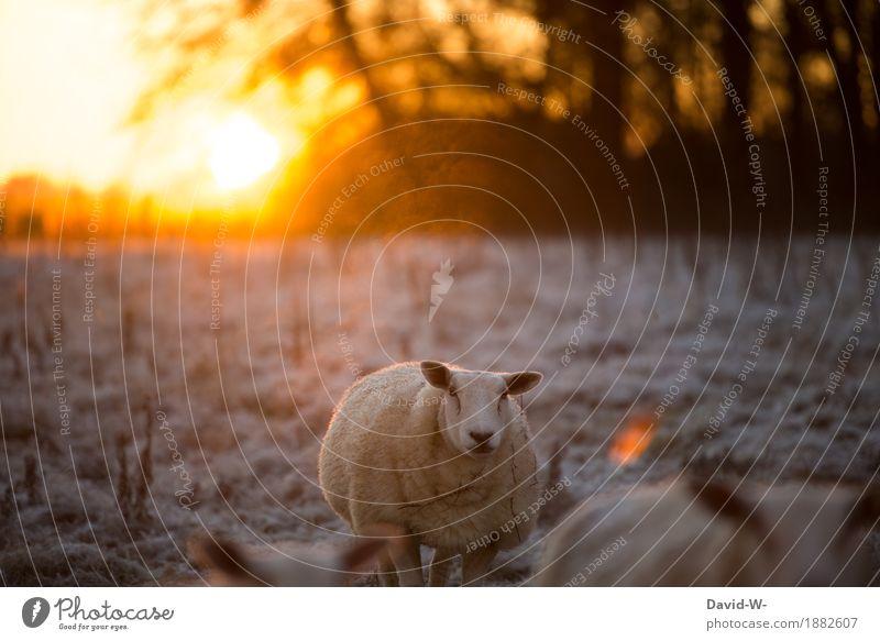 früh und frostig Umwelt Natur Landschaft Luft Sonne Sonnenaufgang Sonnenuntergang Sonnenlicht Herbst Winter Klima Wetter Schönes Wetter Eis Frost Schnee Wiese