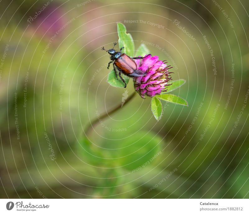 Nicht geheuer, ungeheuer Natur Pflanze Tier Sommer Schönes Wetter Blatt Blüte Nutzpflanze rote Kleeblüte Wiese Insekt Käfer Julikäfer gerippter Brachkäfer 1