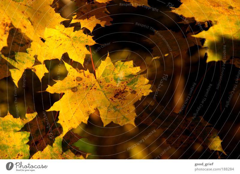 sonnenblätter Sonne Umwelt Natur Landschaft Pflanze Sommer Herbst Baum Blatt Grünpflanze Park Urwald genießen hängen leuchten gelb gold grün Blätterdach