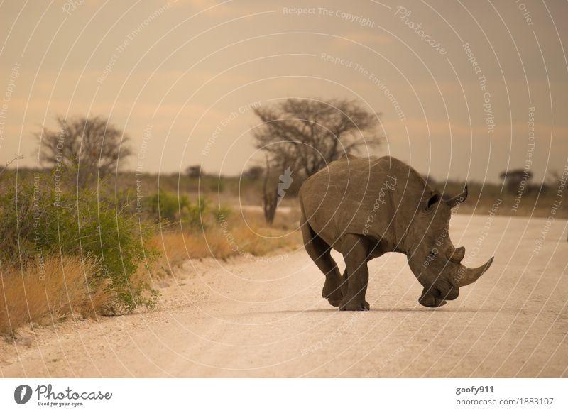 Nashorn 4 Ferien & Urlaub & Reisen Ausflug Abenteuer Ferne Safari Umwelt Natur Landschaft Erde Sand Himmel Wolken Sonne Sonnenlicht Sommer Schönes Wetter Wärme