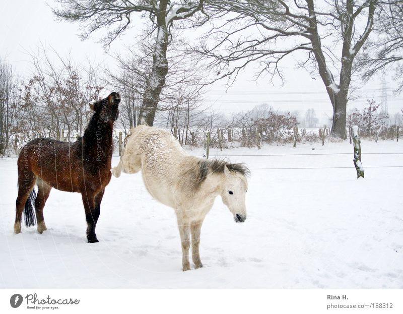 Lass mich zufrieden ! weiß Einsamkeit Tier Winter kalt Gefühle braun Freizeit & Hobby Mensch Haare & Frisuren einzigartig Pferd Leidenschaft Konflikt & Streit Stress frieren