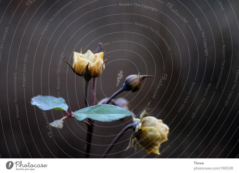 roses Natur schön Pflanze Einsamkeit dunkel Tod Blüte Traurigkeit Park Blume Rose Trauer Wandel & Veränderung Vergänglichkeit gefroren Duft