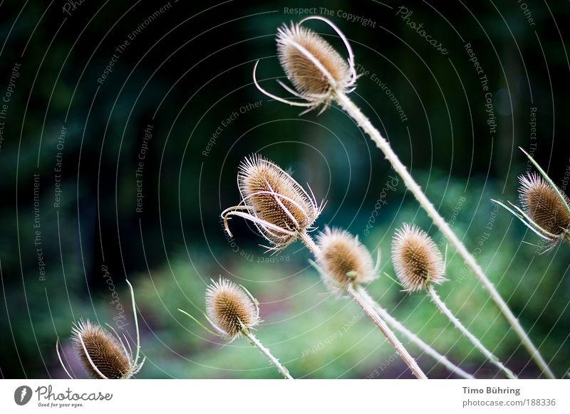 Die Distel Natur schön grün Pflanze schwarz Leben dunkel Herbst träumen Park hell braun Wind Zeit retro authentisch
