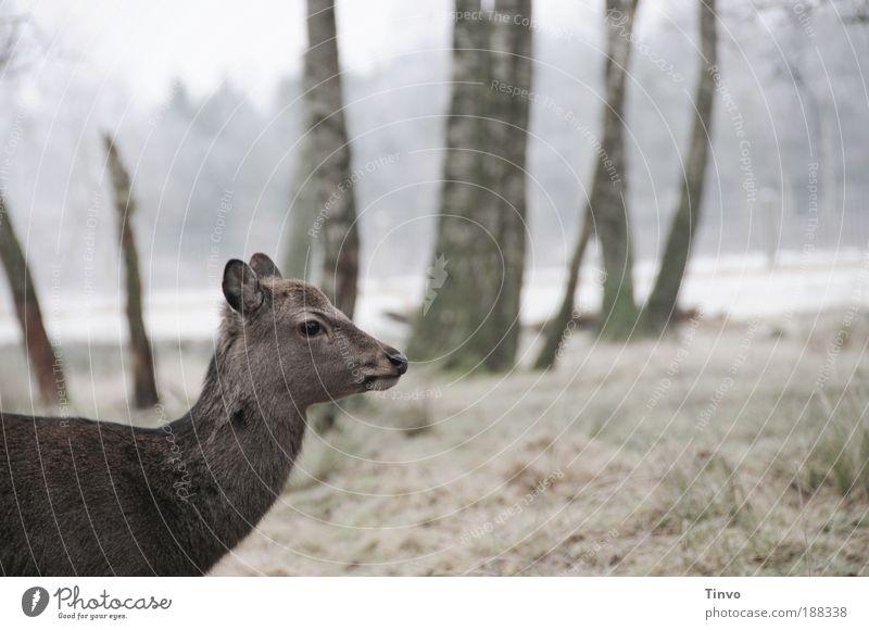 scheu Natur Baum Winter Tier Wald Wiese Fell Wildtier Schüchternheit Reh Waldlichtung