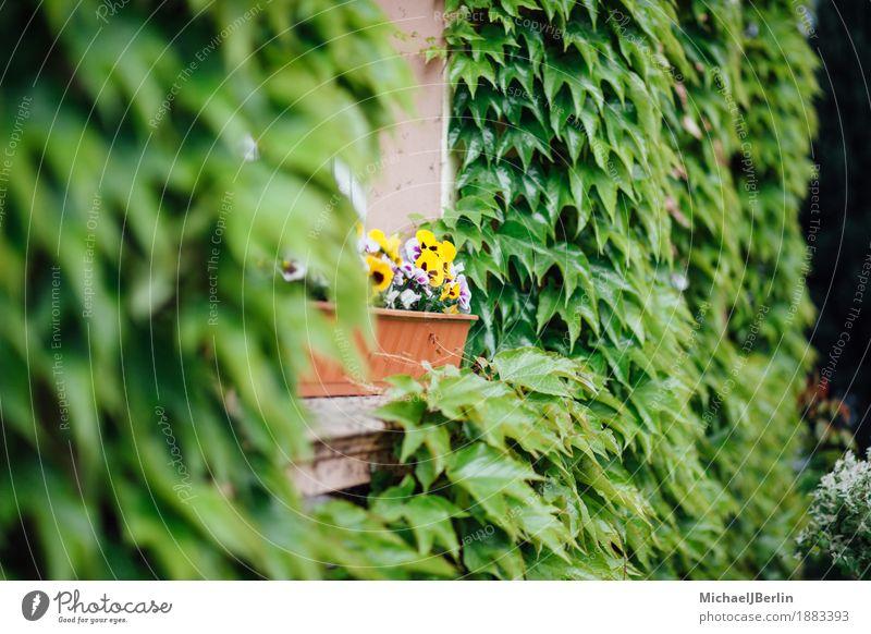 Blumen in Fensterbank zwischen grün bewachsener Fassade Pflanze Blüte Gebäude Idylle einzigartig Farbfoto Außenaufnahme Unschärfe