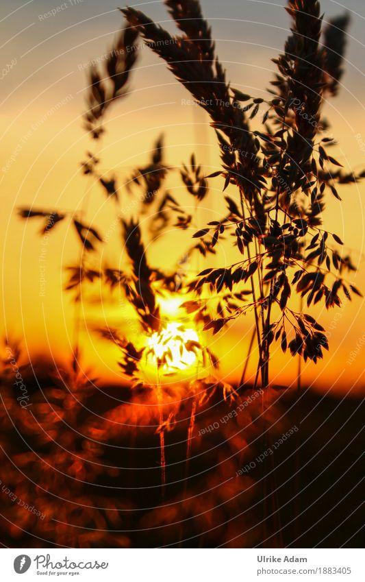 Gräser im Sonnnenuntergang Stil Design einrichten Dekoration & Verzierung Tapete Bild Poster Leinwand Postkarte Trauerfeier Beerdigung Natur Pflanze Sonne