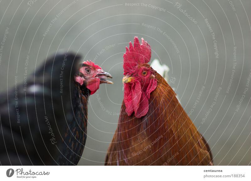 Hühnerliebe Nutztier 2 Tier positiv braun grau rot schwarz Gefühle Verliebtheit Partnerschaft Farbfoto Außenaufnahme Nahaufnahme Menschenleer Textfreiraum oben