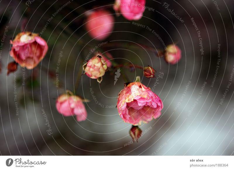 beharrlich schön weiß Pflanze Blume Winter kalt Leben Tod Blüte Stimmung Eis rosa Sträucher Frost Vergänglichkeit Trauer