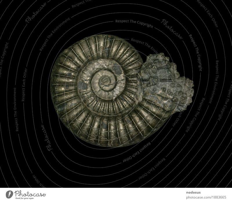 Arnioceras ceratitoides Freizeit & Hobby Wissenschaften Sammlung Inspiration ansammeln Fossilien Jura Pyrit Ammoniten