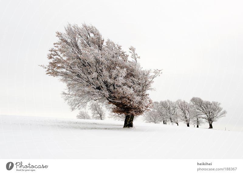 Schneebuchen Natur Himmel weiß Pflanze Winter ruhig schwarz Schnee Wiese Gefühle Berge u. Gebirge Landschaft Stimmung braun Umwelt atmen
