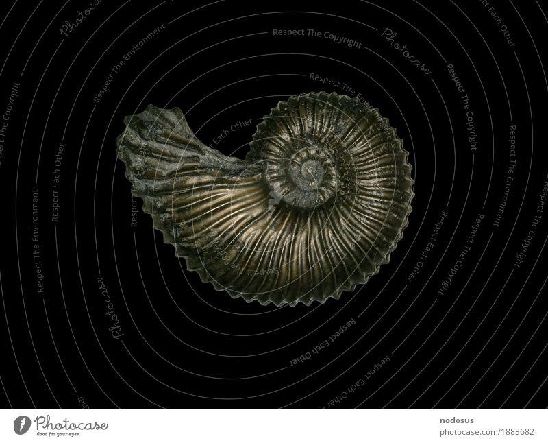 Angulaticeras ventricosum Tier Inspiration Ammonit Ammoniten Sammlung Paläontologie ansammeln Jura Lias Ariententon Lobenlinie Pyrit Pyritsteinkern Steinkern